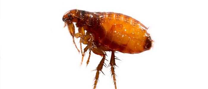 Flea Control Glenelg