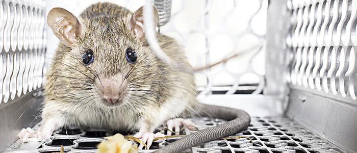 Rodent Control Glenelg